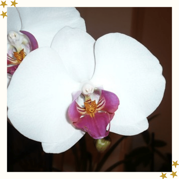 Pink and White Orchid Flower Image