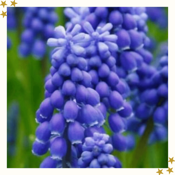 Purple Grape Hyacinth Flower