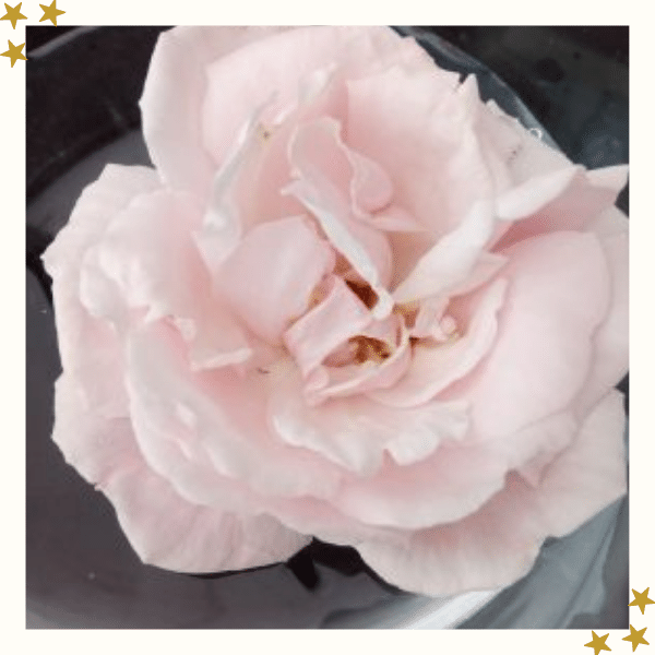Close Up of Pale Pink Rose Flower