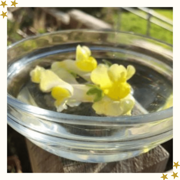 Yellow snap dragon flowers in a bowl of water
